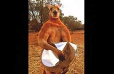 Elpusztult Roger, a robusztus ausztrál kenguru