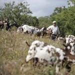 Kecskéket vetnek be a portugálok az erdőtüzek ellen