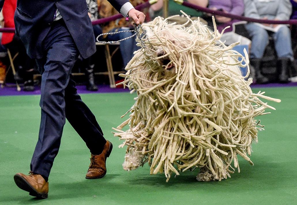 AFP - Nagyítás - Állati 2016 - 16.12.31. - Komondor a kifutón a New York-i  Westminster Kennel Club világhírű éves kutyabemutatóján
