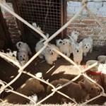 Megnémította a kutyáit a karcagi állatkínzó, nehogy feljelentsék a szomszédai