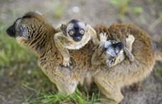 Sárgaszakállas makiikrek születtek Nyíregyházán