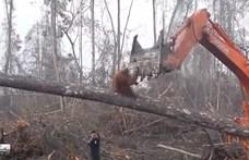Drasztikusan kevesebb orangután él a malajziai olajpálma-ültetvények környékén