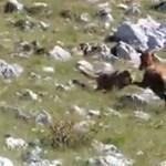 Videó: Elkergette a gidájára vadászó farkast a bátor őz