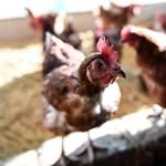 Még ez is: veszélyes madárinfluenza-járvány tört ki Kínában