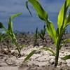 Vészhelyzet kihirdetését kérik a gazdák az agrárminisztertől az aszály miatt