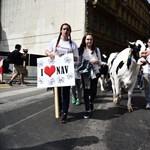 Így előzné meg a kormány a tejpiaci összeomlást