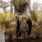 2624 éves fára bukkantak klímakutatók egy amerikai mocsárban