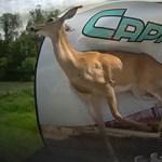 Őz csapódott egy lakókocsiba – videó