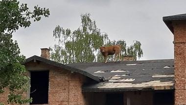 Órákba telt, mire leszedtek egy tetőre mászott tehenet a lengyel tűzoltók - fotók