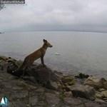 Fotó: Egy igazi róka megtekintette ma délelőtt a Balatont