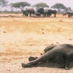Rejtélyes veszedelem gyilkolja a botswanai elefántokat