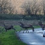 16 ezer vadat gázoltak el az elmúlt vadászati idényben