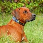 Nyomásmérőt tettek egy kutyanyak-modellre, hogy megmérjék, melyik nyakörv veszélyes