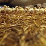 Évente 3 millió csirkét tud feldolgozni az új pacsai üzem