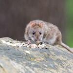 Bizonyos patkányok élvezik az autóvezetést