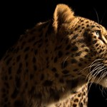 Ön vitt már leopárdot sétálni? - videó