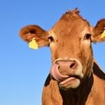 Míg itthon egy medve, a bolgároknál egy tehén most a sztár