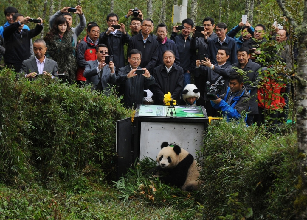 afp. hét képei - Yaan, kína, Óriáspanda, People take pictures as giant panda Xue Xue (C) is released into the Liziping national nature reserve in Yaan, southwest China's Sichuan province on October 14, 2014,  after two years of training since being born i