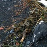 Tízezrével hullanak el a madarak a klímaváltozás miatt