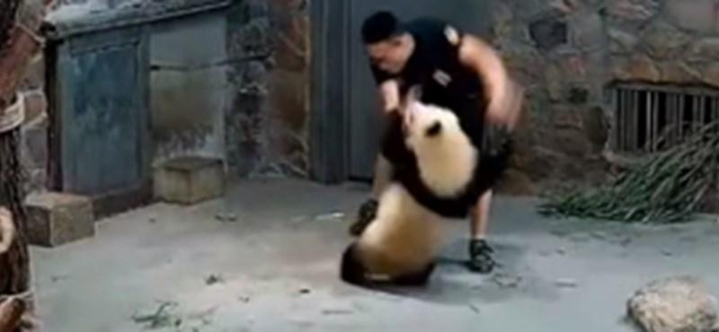 Dobáltak és lökdöstek két pandabébit egy kínai kutatóközpontban