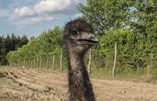 Emu kóborolt a kirándulók között Budapest határában – videón, ahogy elfogták
