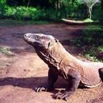 Komodói sárkány harapta meg ezt az embert – fotó
