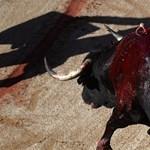 Hosszú évek után ölt újra bika egy torreádort Spanyolországban