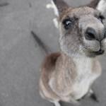 A kenguruk a tekintetükkel képesek kommunikálni