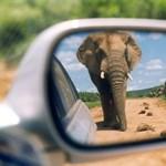 Autómosó elefántok egy amerikai szafariparkban