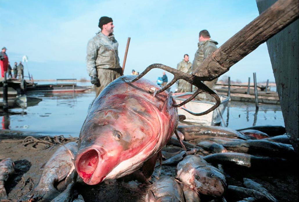 Döglött halakat szednek ki a Tiszából, miután a nagybányai Aurul bányaipari vállalat gátját elmosta a víz és cianidtartalmú szennyvíz kerülta a Lápos folyóba, ahonnan a szennyezés a Szamosba, majd a Tisza magyarországi szakaszára került.
