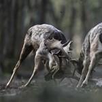 Bikaviadal és barcogás Magyarország erdeiben - Nagyítás-fotógaléria