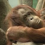 Illegális fakitermelés pusztítja tovább az orángutánok élőhelyeit