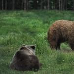 Filmbe illő akcióval sikerült becsempészni két medvelányt a Pireneusokba