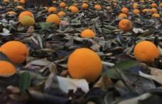 Megfejtették a kutatók a belilult narancs rejtélyét