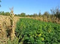 1100 tő kendert rejtett az orosházi kukoricás