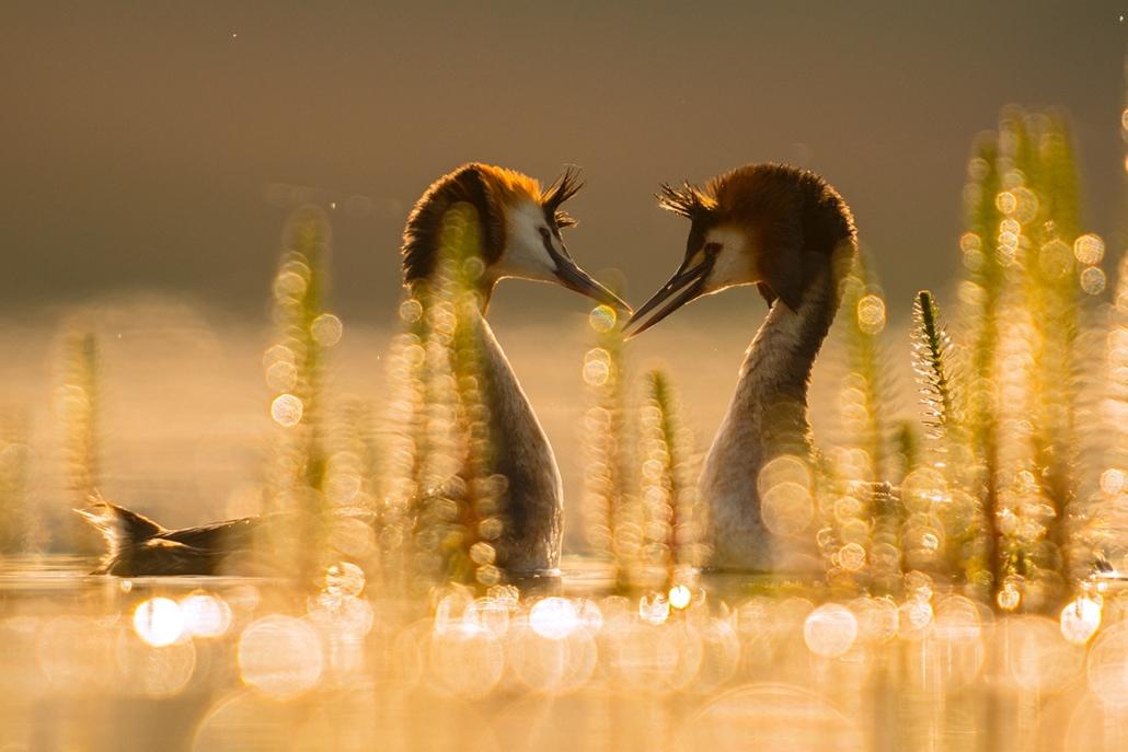 NE_! - II. A madarak viselkedése - 1. díj - Titkos szerelem - Az Év Természetfotója 2014, nagyítás