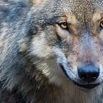 Nem vicc, tényleg beküldték a menedzsereket a valódi farkasok közé, tanulni