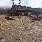 Csontsovány teheneket találtak egy tanyán Újfehértónál – fotók