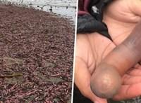 Elárasztottak egy partot a péniszhalak Kaliforniában