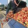 Ha ez így folytatódik, senkinek nem éri meg almát termelni - figyelmeztetnek a gazdák