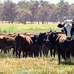 Nem hiszünk a szemünknek: óriássá nőtt szarvasmarha magasodik egy tehéncsorda fölé