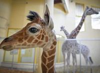 Mostantól sokkal nehezebb lesz zsiráfot venni