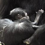 Itt vannak az első képek a fővárosi állatkert újszülött gorillájáról