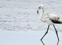 A lazúrcinege után újabb ritka madár érkezett Magyarországra