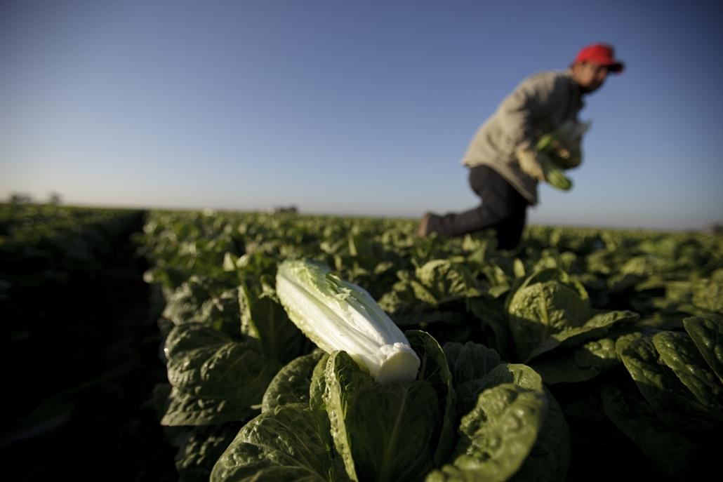 Salátabéren az Egyesült Államokban - Mexikó - Nagyítás-fotógaléria