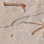 150 millió éves ősmadár maradványaira bukkantak Németországban