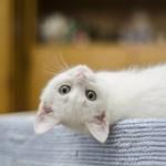 Ismét bebizonyították: a macskák is kötődnek gondozóikhoz