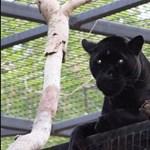Egy ígéretes szelfit akart csinálni magáról az állatkertben – de közbeszólt a jaguár