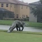 Hatalmas aligátor jelent meg egy floridai golfpályán