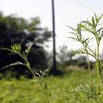 Parlagfűcsapdában a gazdák is: ha időben permeteznek, pusztul a kultúrnövény is